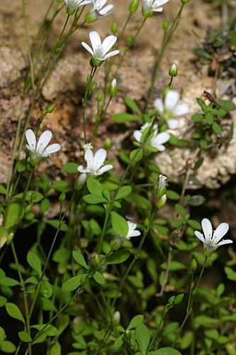 Moehringia intricata subsp. tejedensis (Huter, Porta & Rigo ex Willk.) J.M. Monts.