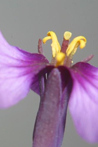 Moricandia arvensis (L.) DC.