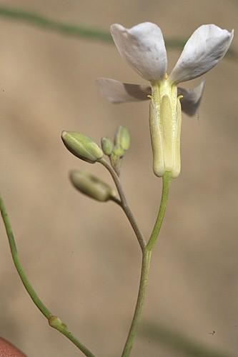 Moricandia foetida Bourg. ex Coss.