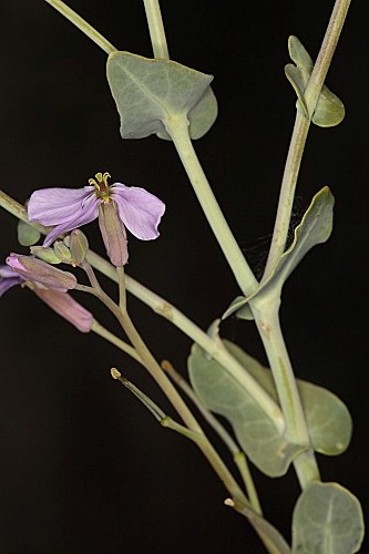 Moricandia moricandioides (Boiss.) Heywood