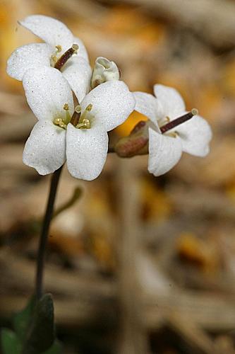 Murbeckiella boryi (Boiss.) Rothm.