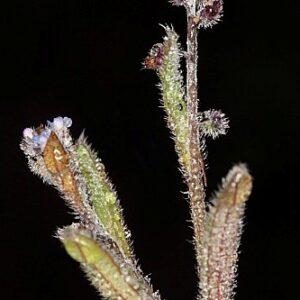 Myosotis ramosissima subsp. ramosissima Rochel in Schult.