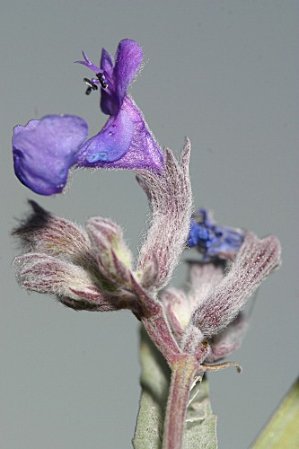 Nepeta nepetella subsp. aragonensis (Lam.) Nyman