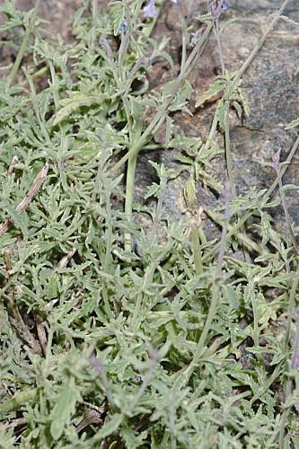 Nepeta nepetella subsp. laciniata (Willk.) Aedo in Castrov. & al. (eds.)
