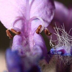 Nepeta nepetella subsp. murcica (Guirao ex Willk.) Aedo