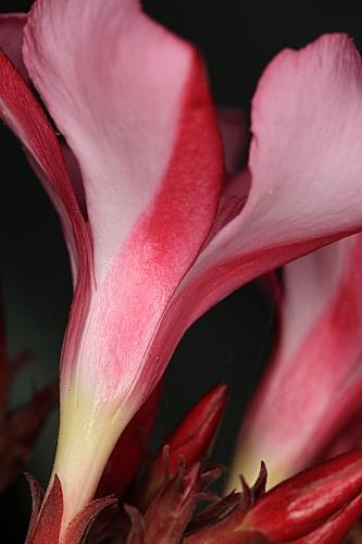 Nerium oleander L.