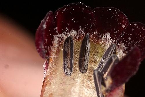 Nonea vesicaria (L.) Rchb.