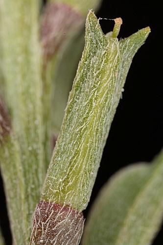 Notoceras bicorne (Aiton) Amo