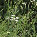 Oenanthe crocata L.