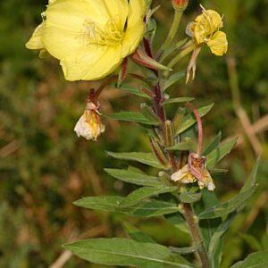 Oenothera biennis L.
