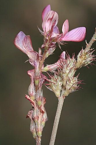 Onobrychis stenorhiza DC.
