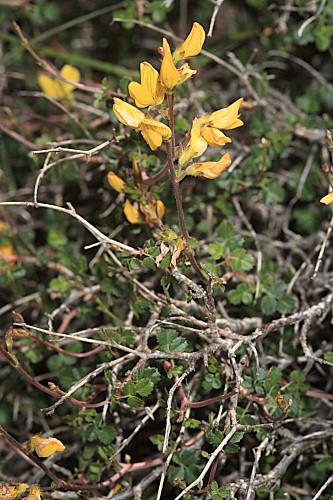 Ononis aragonensis Asso