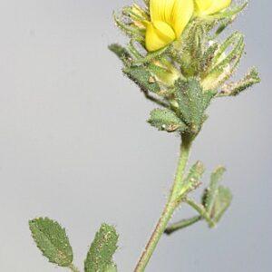Ononis cephalotes Boiss.
