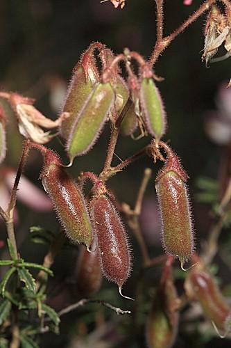 Ononis fruticosa L.