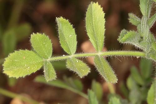 Ononis leucotricha Coss.