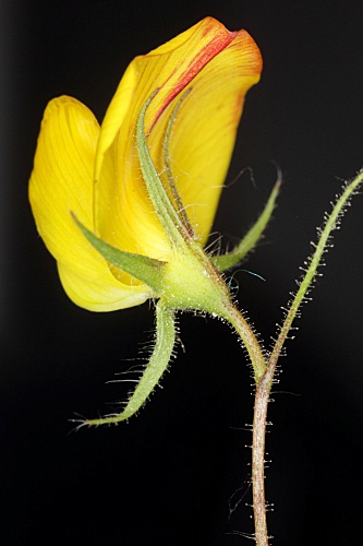 Ononis viscosa subsp. brachycarpa (DC.) Batt. in Batt. & Trab.