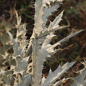 Onopordum macracanthum Schousboe