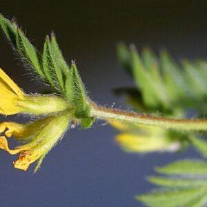 Ornithopus compressus L.