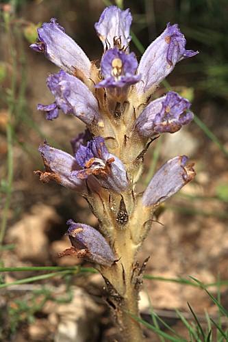 Orobanche arenaria Borkh.