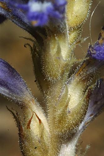 Orobanche ramosa L.