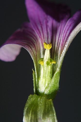Oxalis corymbosa DC.