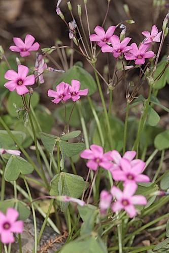 Oxalis debilis Kunth