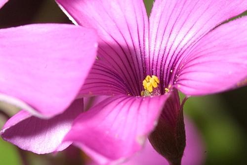 Oxalis latifolia Kunth