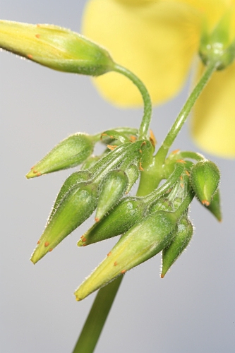 Oxalis pes-caprae L.