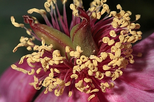 Paeonia coriacea Boiss.