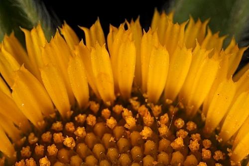 Pallenis spinosa (L.) Cass.