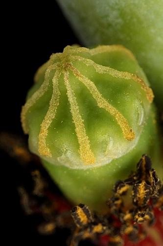 Papaver dubium L.
