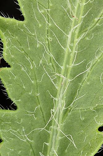Papaver rhoeas L.