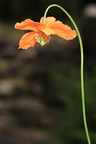 Papaver rupifragum Boiss. & Reut.
