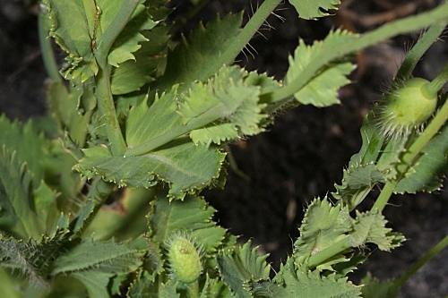 Papaver somniferum subsp. setigerum (DC.) Arcang.