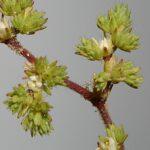 Paronychia echinulata Chater