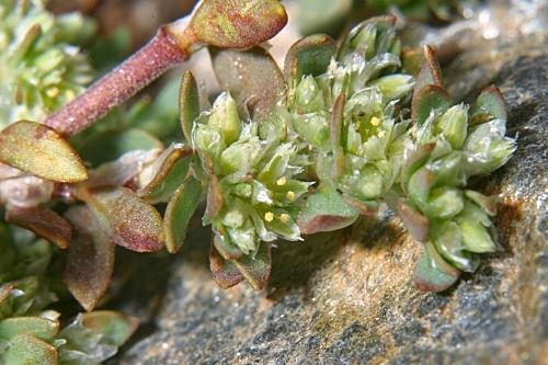 Paronychia polygonifolia (Vill) DC.