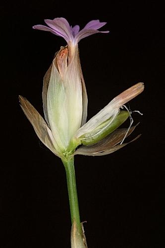 Petrorhagia nanteuilii (Burnat) P.W. Ball Heywood