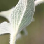 Phlomis crinita Cav.
