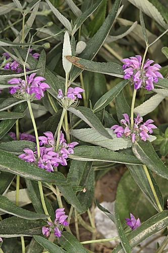 Phlomis herba-venti L.