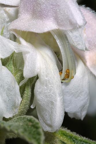 Phlomis italica L.