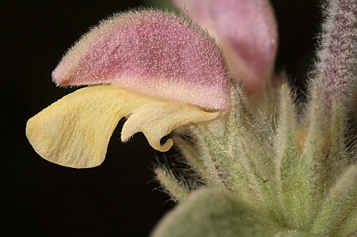 Phlomis margaritae Aparicio & Silvestre