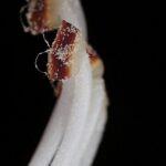 Phlomis purpurea L.