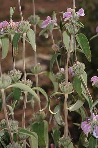 Phlomis purpurea subsp. almeriensis Pau