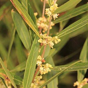 Phillyrea angustifolia L.
