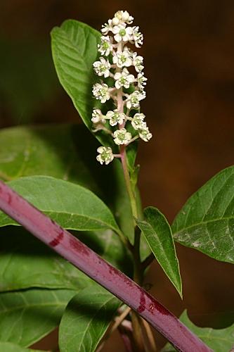 Phytolacca americana L.