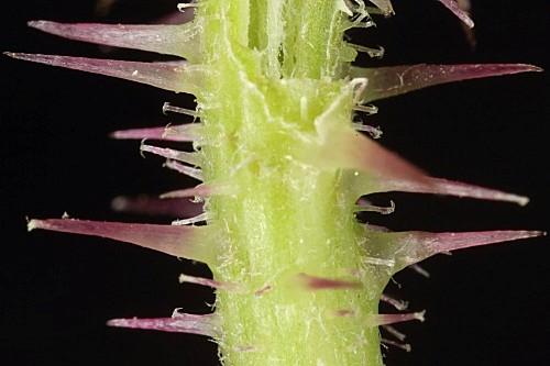 Picris comosa (Boiss.) B. D. Jackson subsp. comosa
