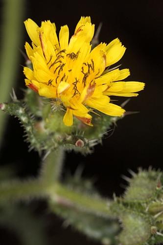 Picris echioides L.
