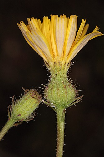 Picris willkommii (Schultz Bip.) Nyman