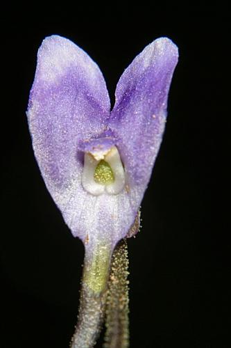 Pinguicula nevadensis (H. Lindb.) Casper