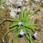 Pinguicula vallisneriifolia Webb